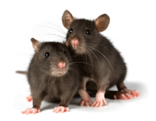 rats, pest control, rodents, commercial pest control, domestic pest control