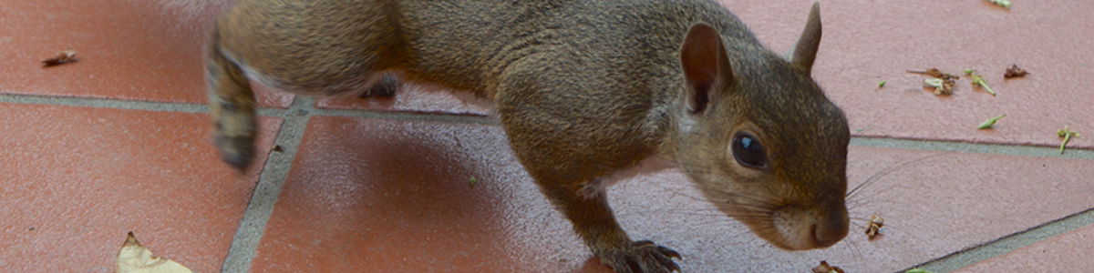 humane pest control for squirrels in Hertfordshire